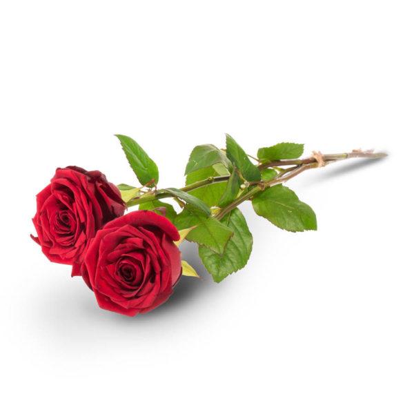 Kaksi punaista ruusua