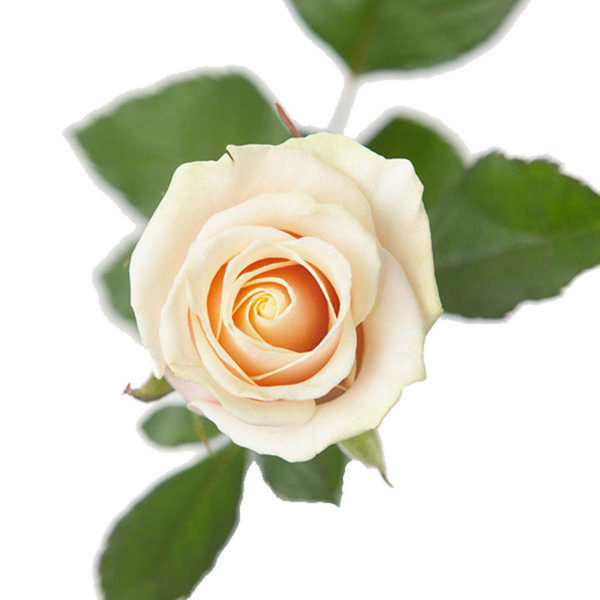 Shampanja ruusu