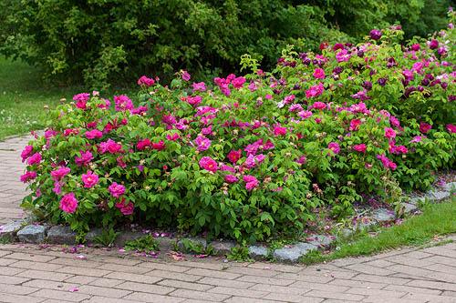 Meilahden ruusutarha arboretumissa Helsingissä