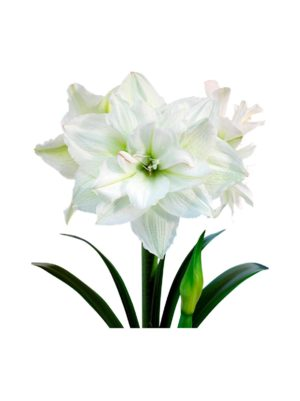 White Nymph Amaryllis -kukkasipuli