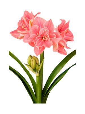 Sweet Nymph Amaryllis -kukkasipuli