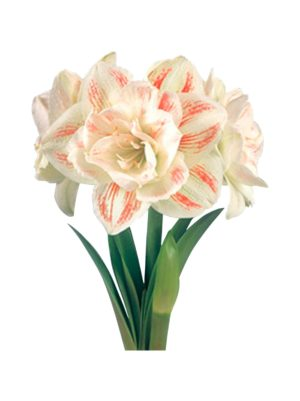 Nymph Amaryllis -kukkasipuli
