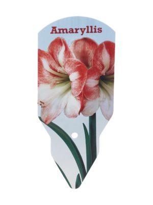 Amaryllis 40/+ -kukkasipuli