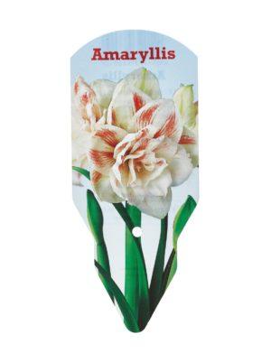 Amaryllis Nymph Double 36/38 -kukkasipuli