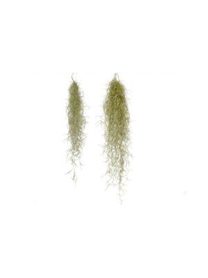 Naavatillandsia Tillandsia usneoides